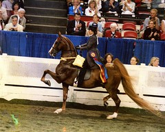 Phillipa Sledge - Award-Winning American Saddlebred