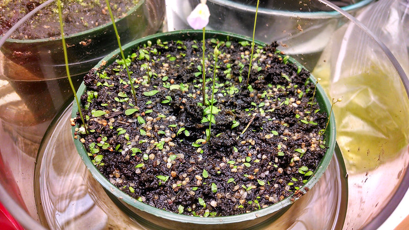 Utricularia livida filling the pot.
