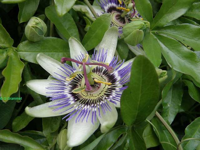 Passiflora-caerulea