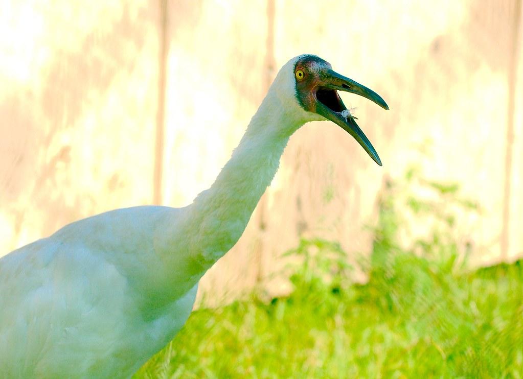 Siberian Crane (Leucogeranus leucogeranus)_7