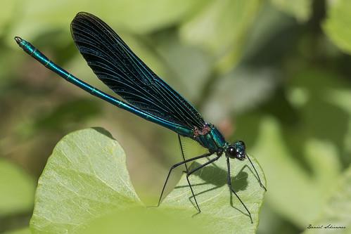 Prachtlibelle – Dragonfly