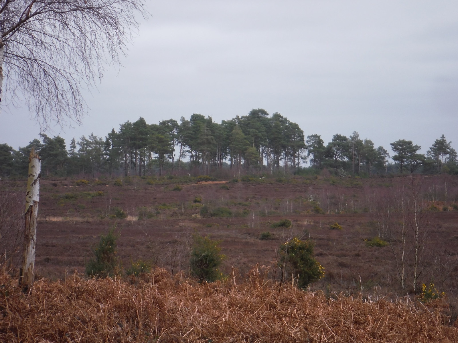 Heathery Slope, Thursley Common SWC Walk 144 Haslemere to Farnham