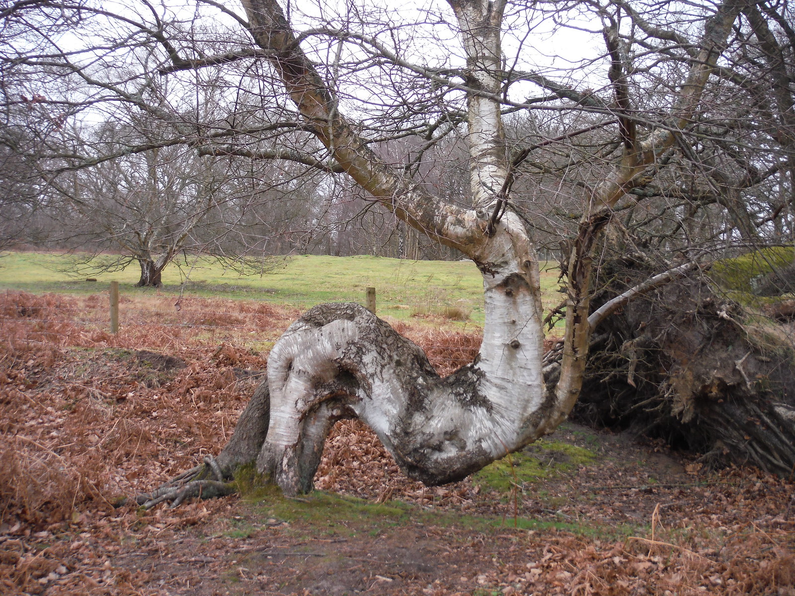 What a Tree! (Thursley Common) SWC Walk 144 Haslemere to Farnham