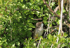 HolderWHITETHROAT .