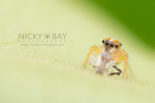Jumping Spider (Salticidae) - DSC_6442