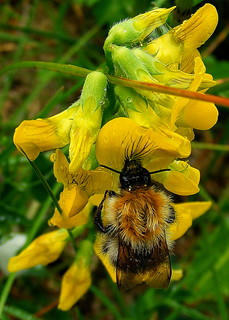 Fuji FinePix S5800-S800.Super Macro Study Of A Carder Bee On Wet Yellow Pea Flowers.July 2nd 2013.