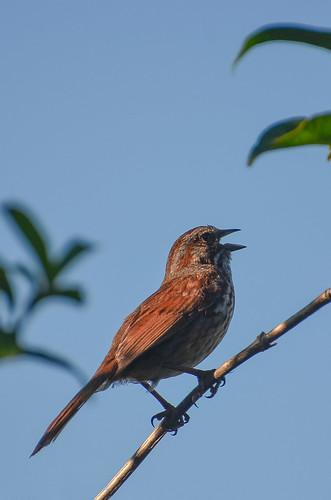 <p><i>Melospiza melodia</i>, Emberizidae<br /> Grant Narrows, Pitt Meadows, British Columbia, Canada<br /> Nikon D5100, 70-300 mm f/4.5-5.6<br /> June 30, 2013</p>