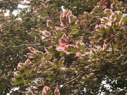 Schoepfle Garden - Birmingham, Ohio - Tricolor Beech