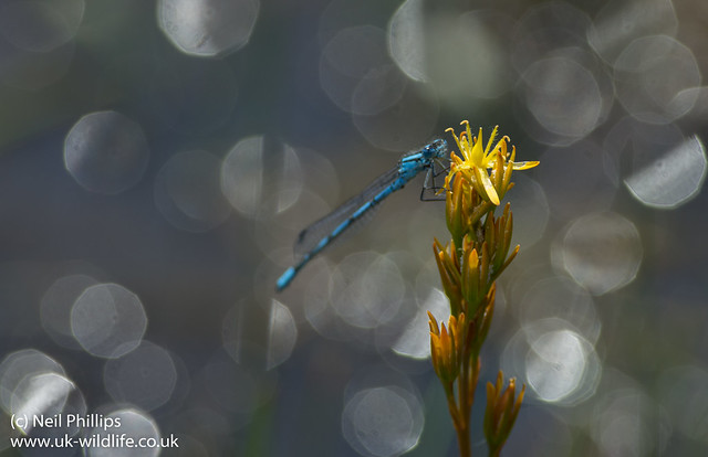 Common blue damselfly hatchet pond