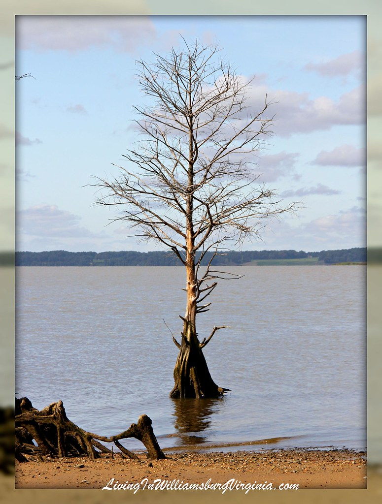 Bald Cypress On The James