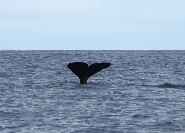 sperm whale azores 8