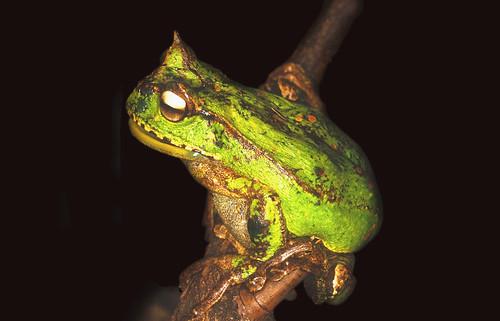 <i>Gastrotheca guentheri</i> Rana marsupial de Gunther ♀