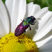Small photo of Jewel Beetle. Anthaxia scutellaris. Buprestidae