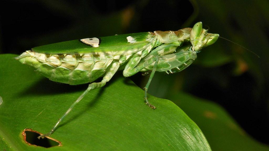 Jeweled Flower Mantis (Creobroter gemmatus, Hymenopodidae)