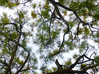 Tipu tree in bloom