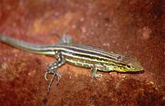 South American Whiptail (Cnemidophorus lemniscatus) female