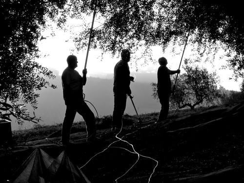 Olive Harvest Silhouette