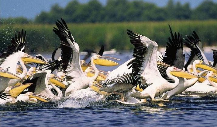 11. Pelícanos sobre el Danubio. Autor, Goliath