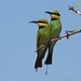 Rainbow Bee-eater by sunphlo