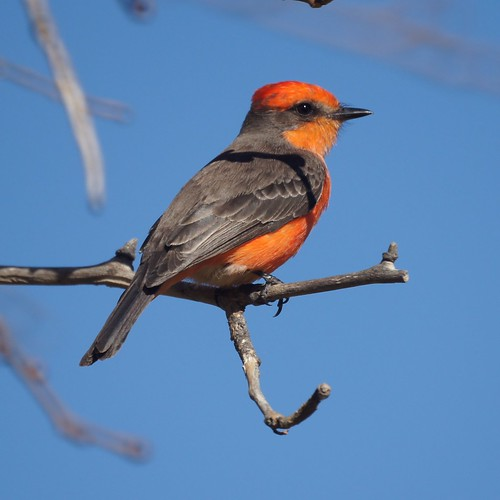 Vermilion Flycatcher by Mike's Birds