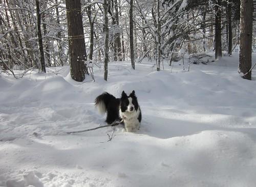 庭の雪に埋まるランディ 2014年1月9日9:26 by Poran111