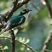 Dideric Cuckoo - Photo (c) Dave Krueper, some rights reserved (CC BY-NC-ND)