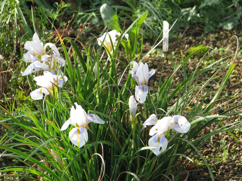 Iris unguicularis Peloponnese Snow
