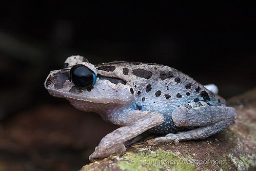 Black-eyed Litter Frog IMG_4428 copy