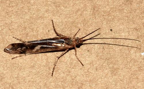 Trichoptera 11920