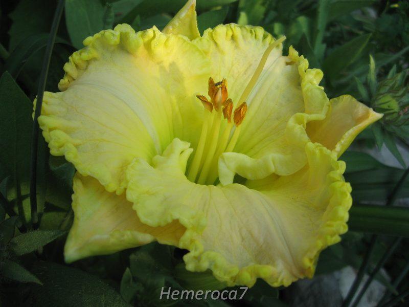 "Hémérocalle ""Green Mystique"" 12841432484_a3ec8d237e_o"