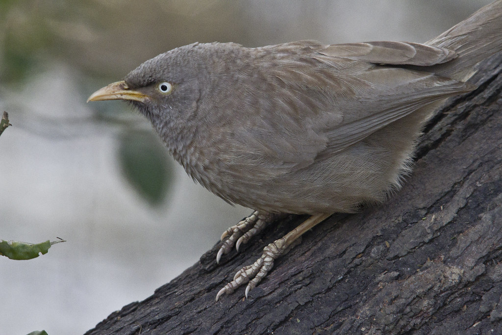 13_01_20142169054995_jungle_babbler