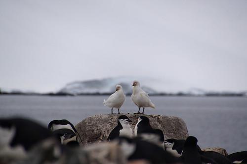 068 Wandeling Halfmoon Island - kinbandpinguins en zuidpoolkippen