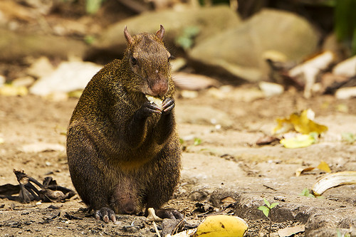 Panama: Agouti Under the Feeders