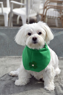 Picture Of Lucky The Maltese Dog Taken After Grooming. Lucky Is Ready To Celebrate Saint Patrick's Day Tomorrow As You Can Tell He's Wearing His Green Shamrock Bandana. Photo Taken Sunday March 16, 2014