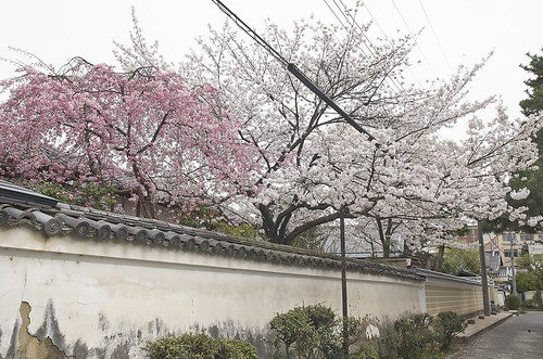 【写真】2014 桜 : 知恩寺/2020-11-13/IMGP5717