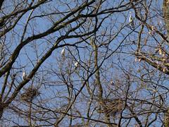 mars 14, activités de nids ,hérons cendrés