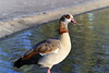 Egyptian Goose by will668