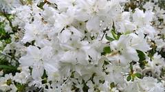 shrub, flower, tree, plant, azalea,