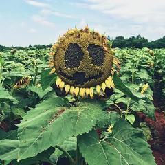Here comes the Sun King #summer #sunflower #flowers #vscocam