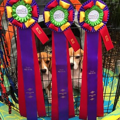 Hmmm... I think there are some beagles behind those BFRs! I am so proud of my beagle boys!! Yesterday, Dylan earned the RL2X2 (20 Level 2 Qs!) and RL3X (10 Level 3 Qs!). Today Dax earned the RL2X2!! We are outside on GRASS and in a place they train agilit