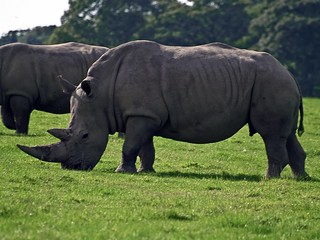 White African Rhinoceros Grazing