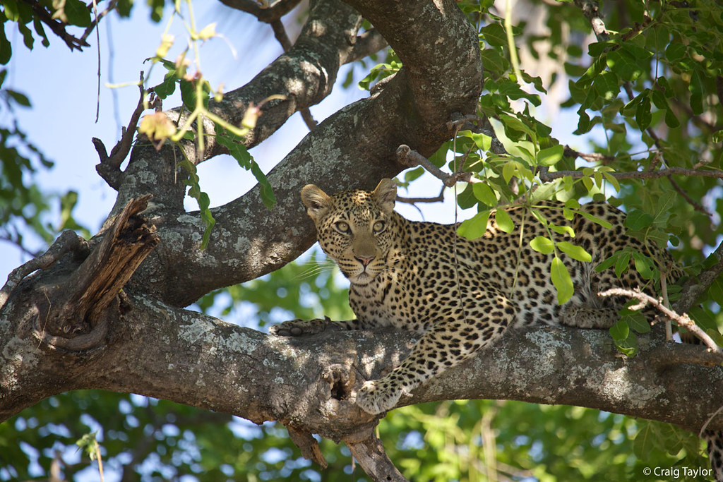 These beautiful big cats are adept climbers & often hoist prey up trees to avoid kleptoparasitism, when animals steal prey or food from another. Learn more cool facts about the leopard & how Panthera is working to protect them through the Munyawana Leopard Project @ bit.ly/102QFt8