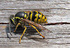 Common Aerial Yellowjacket by K Schneider