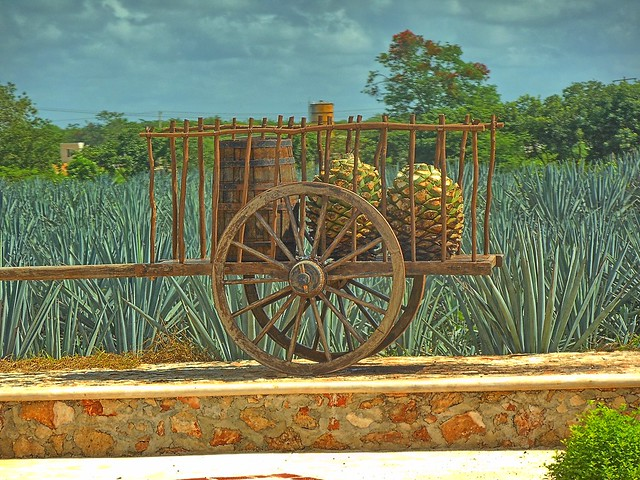 Header of Agave Tequilana