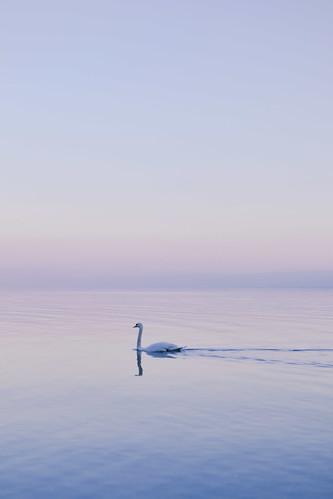 pink blue bird sunrise switzerland suisse lac calm