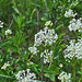 Small photo of New Jersey Tea (Ceanothus herbaceus)