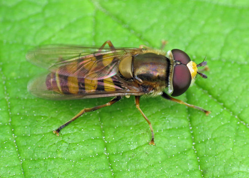 Hoverfly - Eupeodes corollae ?