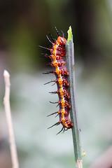 Gulf Fritillary Larva