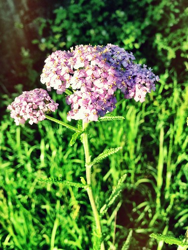 Pink Yarrow for protection