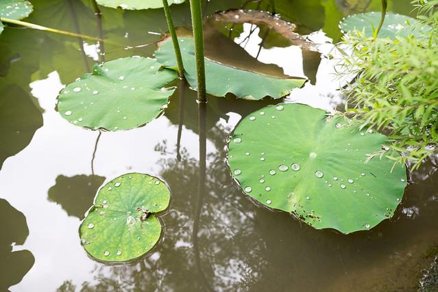 法金剛院 蓮の葉